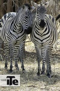 Titelbild der Zeitschrift Ite 2/2008, zwei Zebras